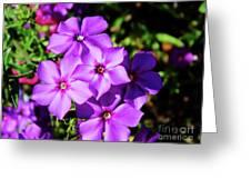 Summer Purple Phlox Greeting Card