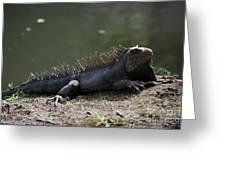 Sun Bathing Iguana Beside A Body Of Water Greeting Card