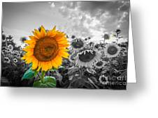 Sun Flower B And W Greeting Card