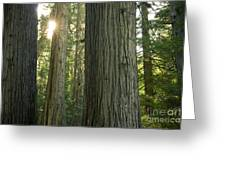 Sun In The Cedars Greeting Card