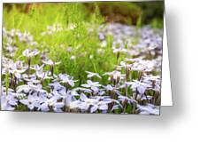 Sun-kissed Meadows With White Star Flowers Greeting Card