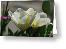 Sun Shining On A Flowering White Tulip Flower Blossom Greeting Card