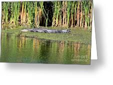 Sunbathing Gator Greeting Card