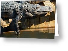 Sunbathing Gator Greeting Card