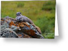 Sunbathing Marmots Greeting Card by Kate Avery