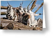 Sunbathing Ring-tailed Lemurs Greeting Card