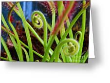 Sundew Drosera Capensis 3 Greeting Card