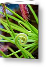 Sundew Drosera Capensis 4 Greeting Card