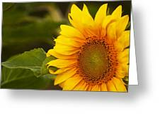 Sunflower-1 Greeting Card