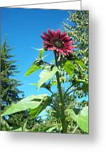 Sunflower 113 Greeting Card