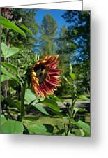 Sunflower 136 Greeting Card