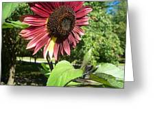Sunflower 143 Greeting Card