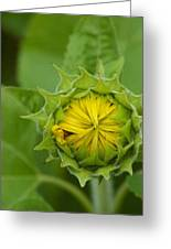 Sunflower Bud Greeting Card