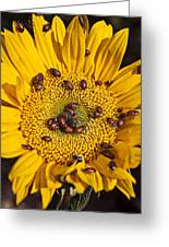 Sunflower Covered In Ladybugs Greeting Card