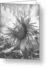 Sunflower Dawn Black And White Drawing Greeting Card
