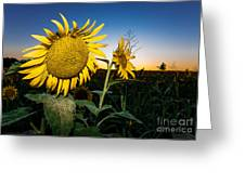Sunflower Evening Greeting Card