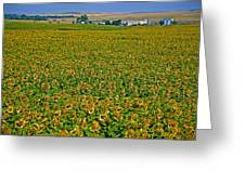 Sunflower Farm In Northwest North Dakota  Greeting Card
