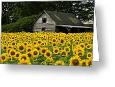 Sunflower Field And Barn Greeting Card