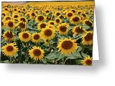 Sunflower Field France Greeting Card