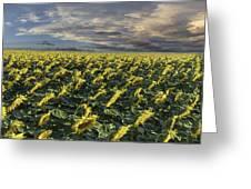 Sunflower Fields Near Denver International Airport Greeting Card