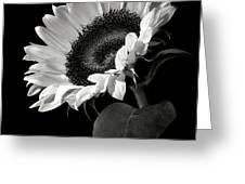 Sunflower In Black And White Greeting Card