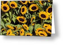Sunflower Near Van Gogh Museum Greeting Card