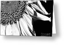Sunflower Petals In Black And White Greeting Card