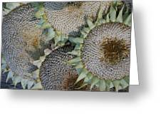 Sunflower Seed Heads Dried To Perfection Greeting Card