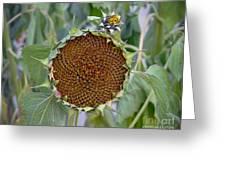 Sunflower Seedhead Greeting Card