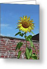 Sunflower With Brick Wall Poster Greeting Card