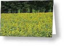Sunflowers 3 Greeting Card