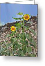 Sunflowers And A Stone Wall Greeting Card