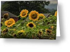 Sunflowers And Red Barn 2 Greeting Card