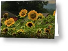 Sunflowers And Red Barn 3 Greeting Card