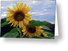 Sunflowers Close Up Greeting Card