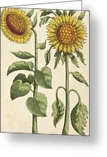 Sunflowers Illustration From Florilegium Greeting Card