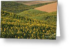 Sunflowers In The Palouse Greeting Card