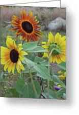 Sunflowers Of August Greeting Card