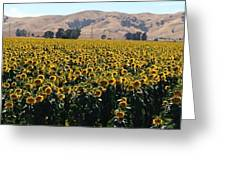 Sunflowers Of Vacaville Greeting Card