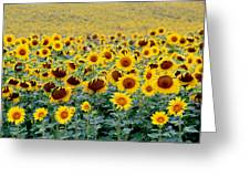Sunflowers On A Cloudy Day Greeting Card