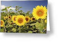 Sunflowers On North Shore Greeting Card by Vince Cavataio - Printscapes
