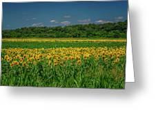 Sunflowers Weldon Spring Mo_dsc9830_16 Greeting Card