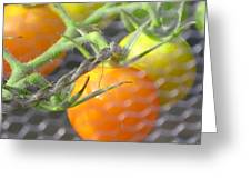 Sungold Tomatoes Greeting Card
