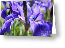 Sunlight On Blue Irises Greeting Card by Carol Groenen