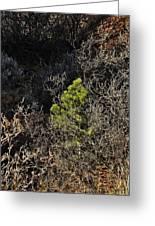 Sunlight On Pine Greeting Card