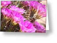 Sunlight On Pink Cactus Blooms Greeting Card