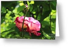 Sunlight Through A Pink Rose Greeting Card
