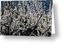 Sunlit Apricot Blossoms Greeting Card