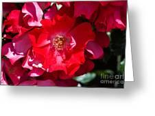 Sunlit Blooms Of Dortmund Hybrid Scots Briar Rose Greeting Card