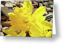 Sunlit Daffodil Flower Spring Rock Garden Baslee Troutman Greeting Card